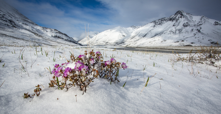 Pink flowers growing in a snow-covered meadow surrounded by mountains