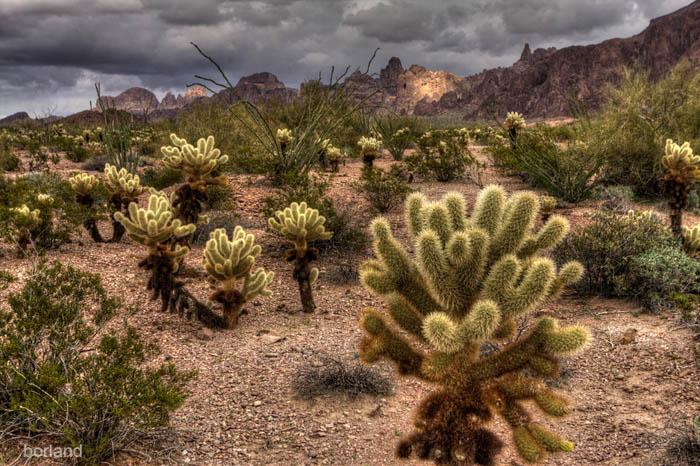 Fotografía de la flora del desierto de un cactus Cholla