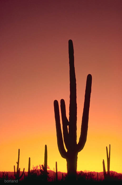 Saguaro cactus silhouette photographed in the desert