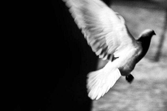 black and white photo of a dove in flight, showing how to use negative space in photography composition