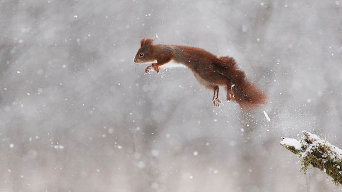 winter wildlife action photo of a squirrel jumping off a branch