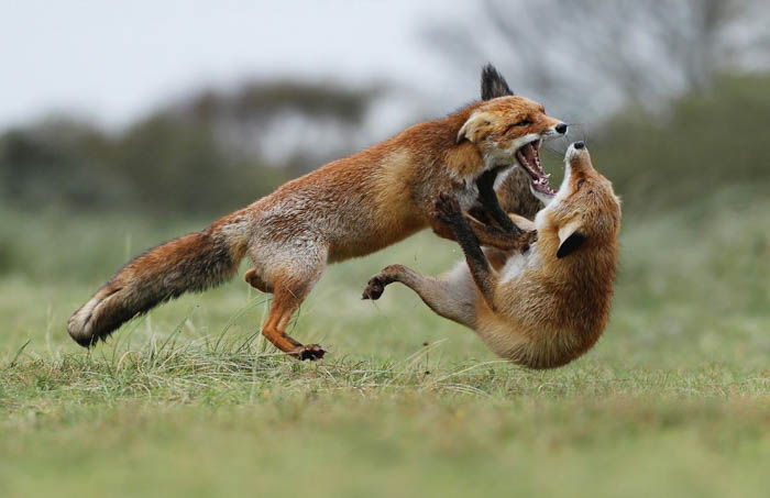 two foxes photographed mid-fight