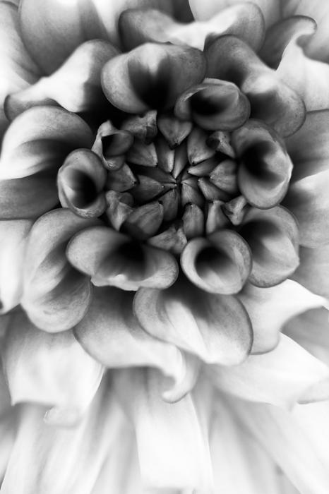 um close-up do centro de uma flor tirada em preto e branco