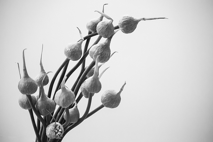 Uma imagem de uma flor em preto e branco, como parte de uma fotografia de natureza morta
