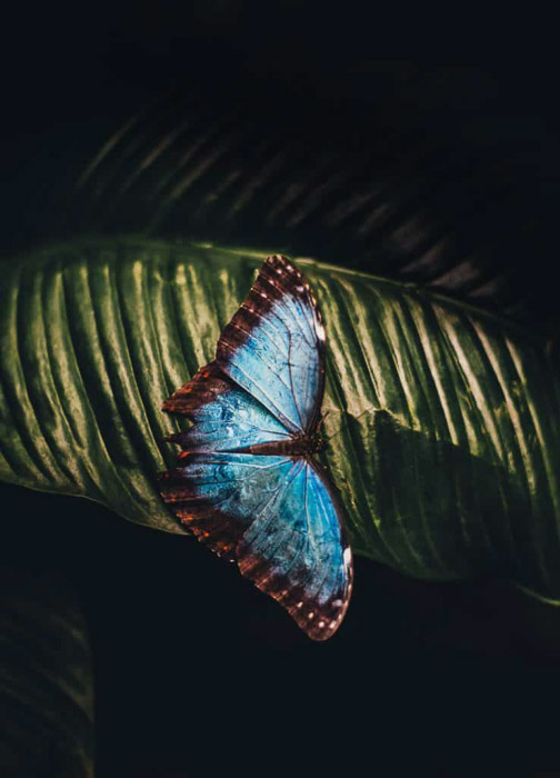 a BEAUTIFUL LARGE BLUE BUTTERFLY ON A LEAF