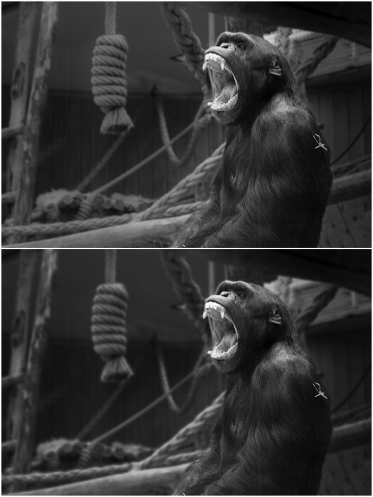 Showing a before and after blurred background action of a Chimpanzee