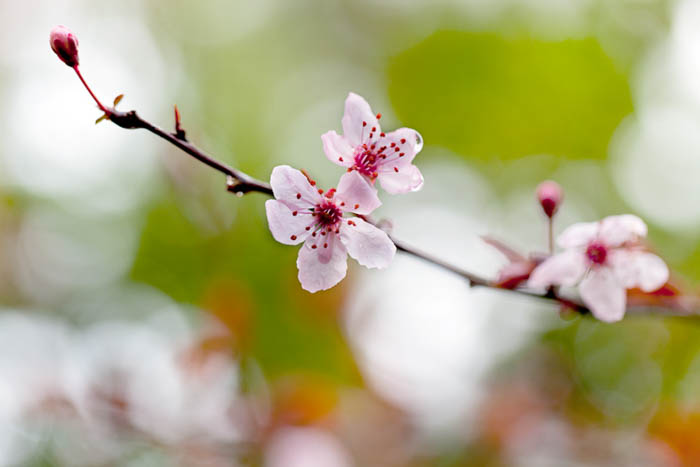 A close-up of cherry blossoms