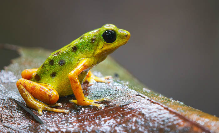 A macro image of a green frog on a leaf