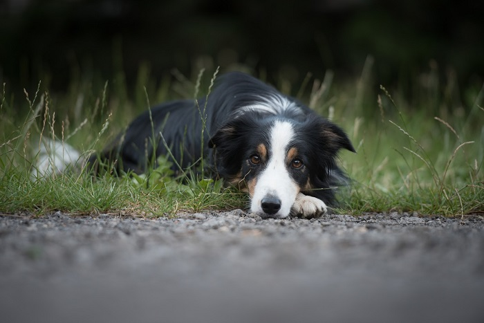 A collie dog lying down on grass