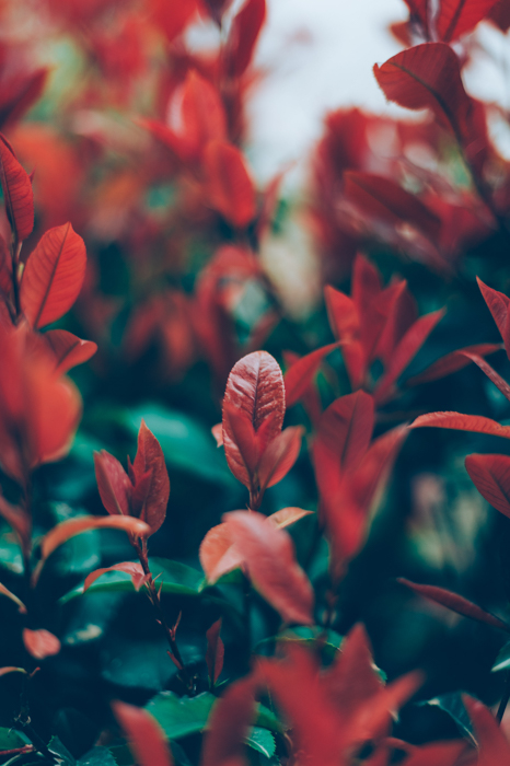 A photo of red and green leaves demonstrating pattern and repetition in photography
