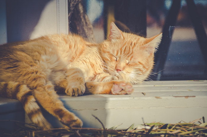 cat photography of a sleepy orange cat