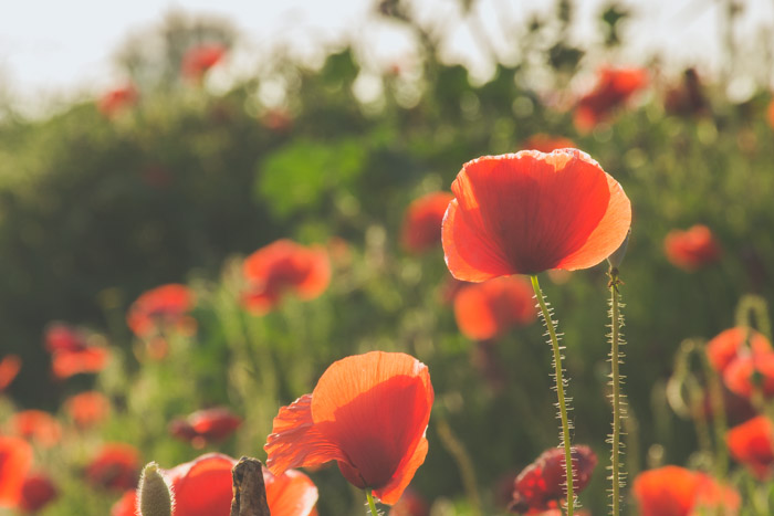Poppy flowers during a golden hour shoot in a countryside location