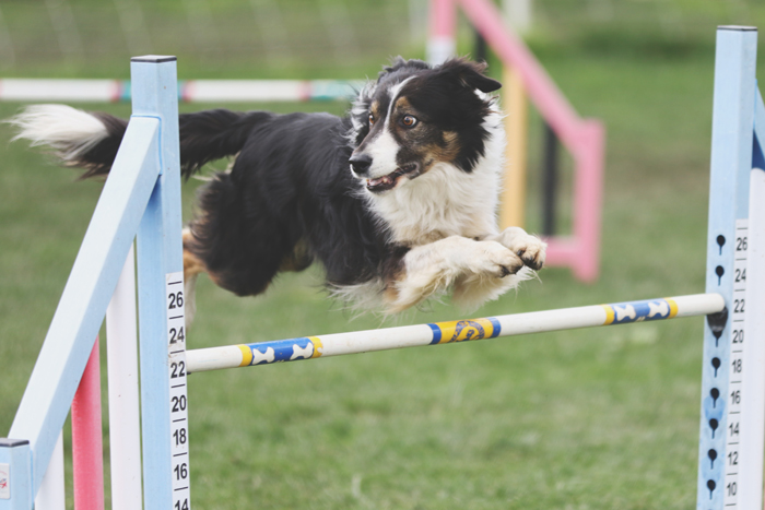 dog photography at a pet show of a border collie doing a high jump, looking to the side with a funny dog expression on its face