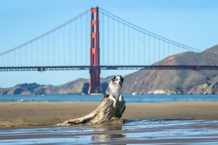 pet photography of a dog lying on a rock with the San Francisco Golden Gate bridge in the background