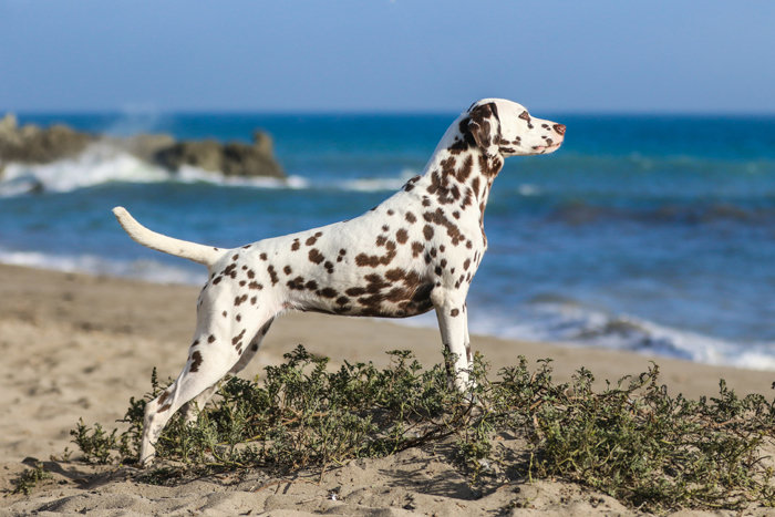 dog photo of a Dalmatian in pointer pose on a beach with the sea in the background