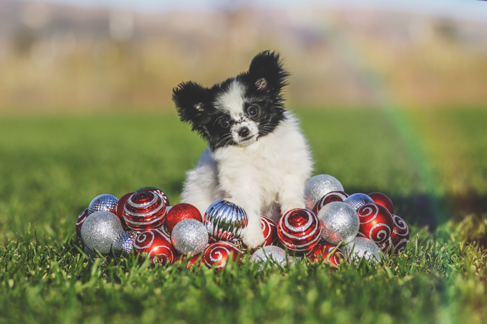 Pomeranian puppy photographed with snow globes and a rainbow
