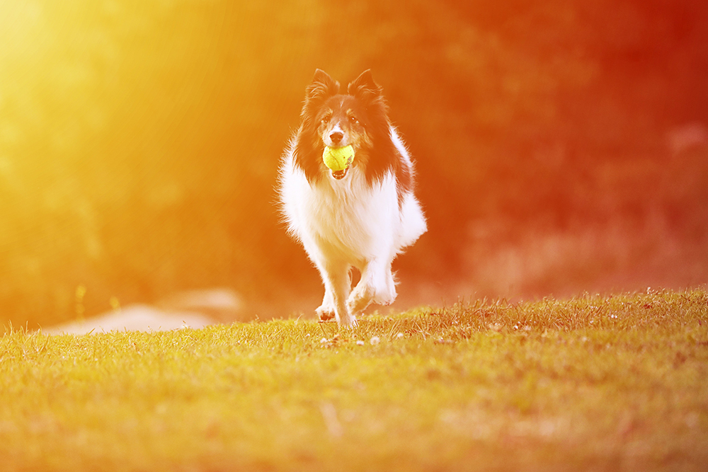 dog photography of a border collie running with a tennis ball in its mouth