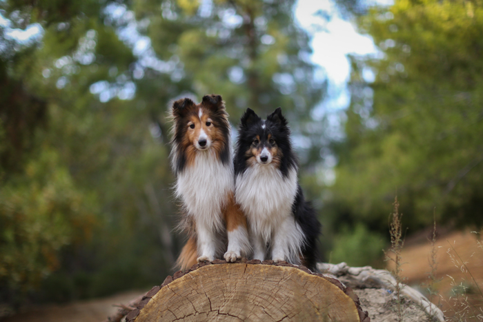 dog photography of two border collies sitting on a tree stump