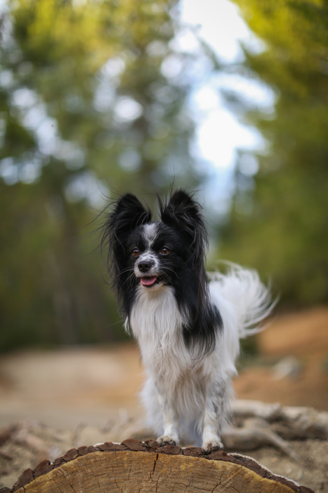 photo of a small black and white Pomeranian dog standing on a tree stump with its tongue out