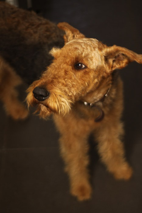 Portrait of a small brown dog