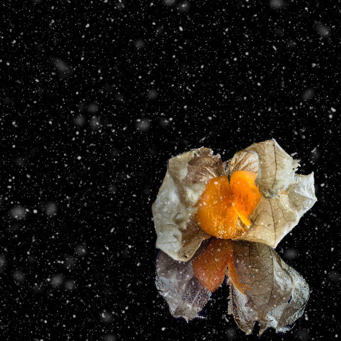 Physalis fruit with its reflection in front of a black background with particles in the foreground