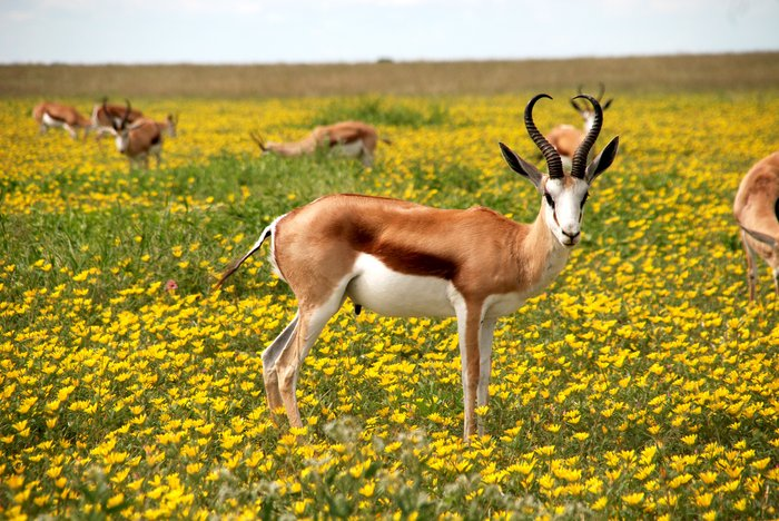 A wildlife photography shot of antelope grazing