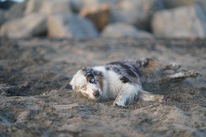 A blue eyed dog lying on a sandy beach