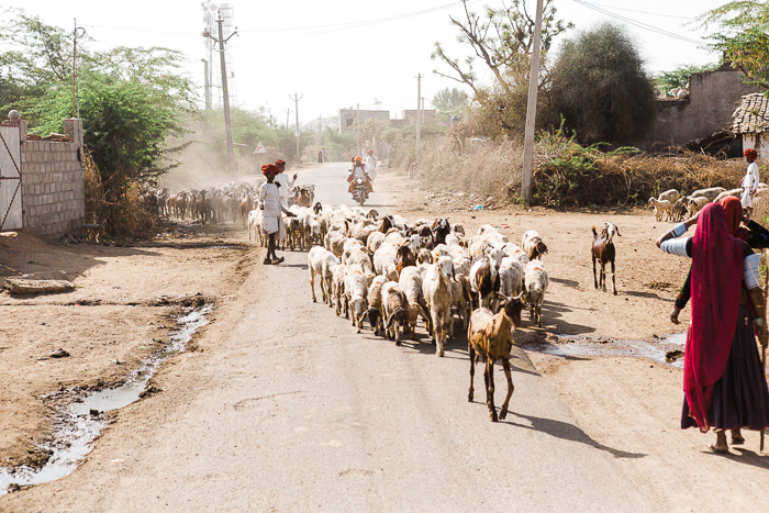 Goats being herded through a dusty street in India