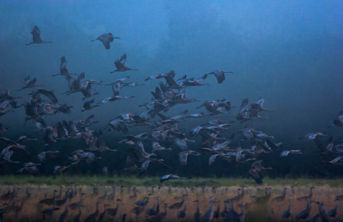 Low key photography of a large flock of Sandhill Cranes taking flight