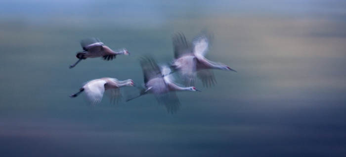low key photography of 4 whooping cranes in flight