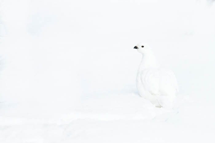 High key photo of a white willow ptarmigan on snow