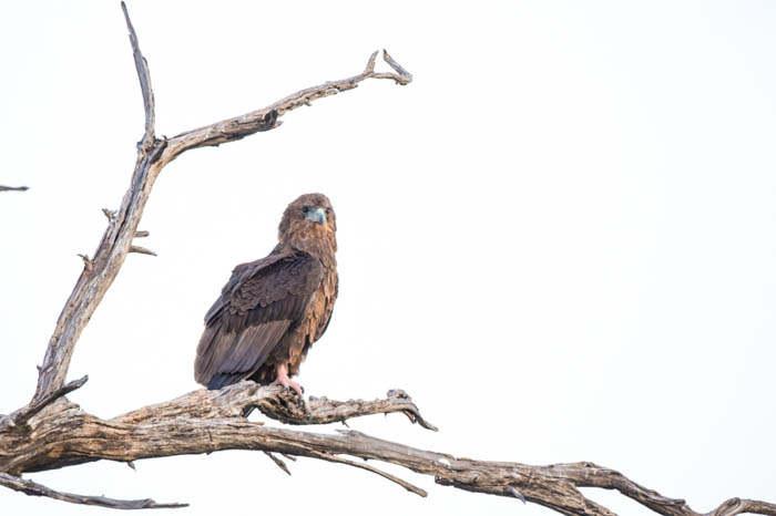 High key photo of a Bateleur Eagle perched on a tree with the background wiped out