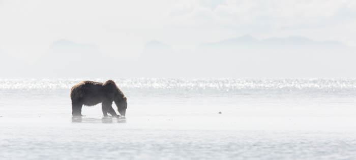 photo of a brown bear digging for clams on the coast of Katmai National Park on a very bright day