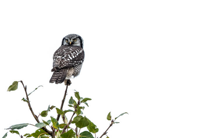 good example of 'high key' shooting for wildlife - photo of an owl perched on a tree, perfectly exposed while the background is completely blanked out