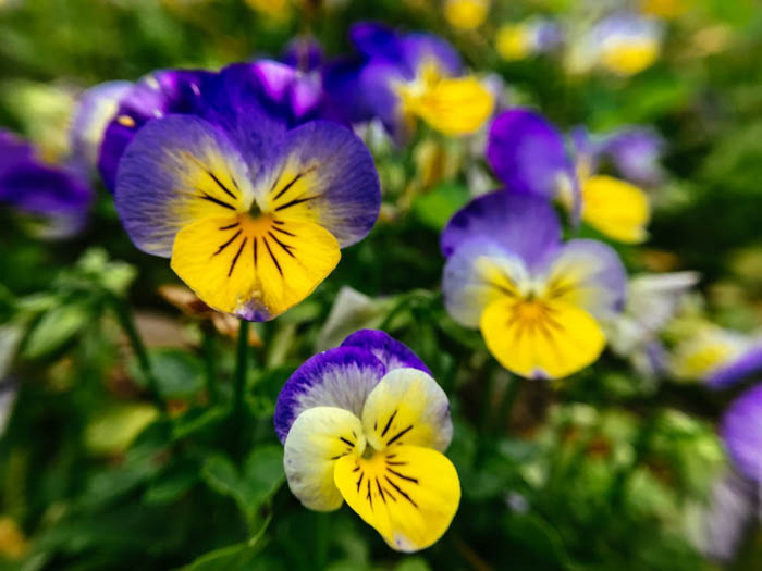macro flower photography of three purple and yellow pansies