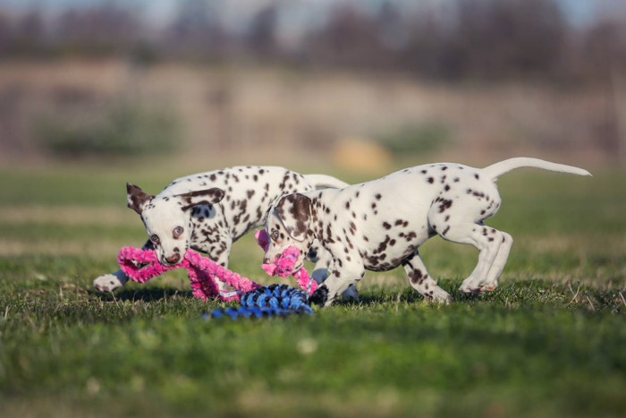 Fun pet portrait of two Dalmatian puppies running on grass and playing with pink and blue rope