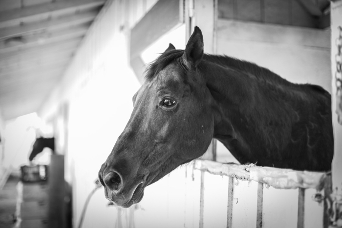 black and white photo of a horse looking out from a stable