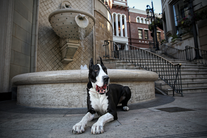 photo of a black and white Great Dane in an urban setting, in front of a water fountain