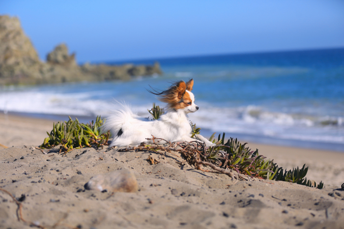pet photography on the beach, small brown and white dog lying on the sand with the ocean in the background