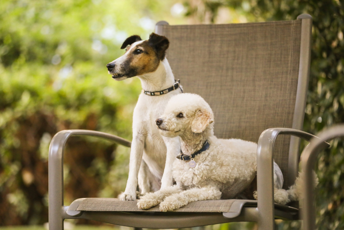 portrait of 2 small terriers sitting on a garden chair