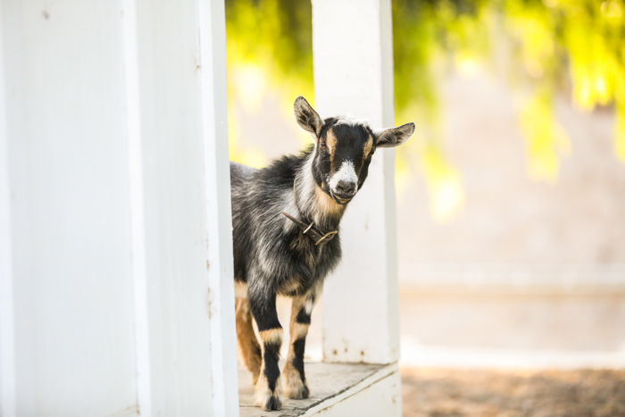 portrait photo of a small goat looking out from a white door frame