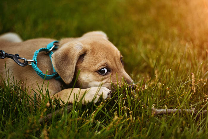 light brown puppy with blue leash lying down on grass