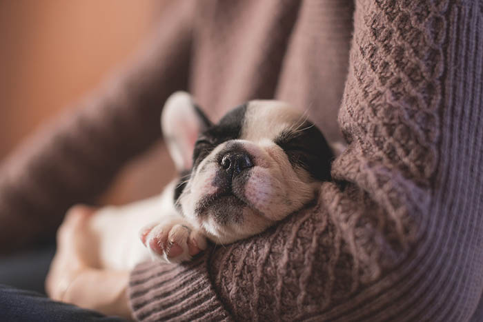 black and white French bulldog puppy sleeping on someone's lap with head in the crook of their elbow