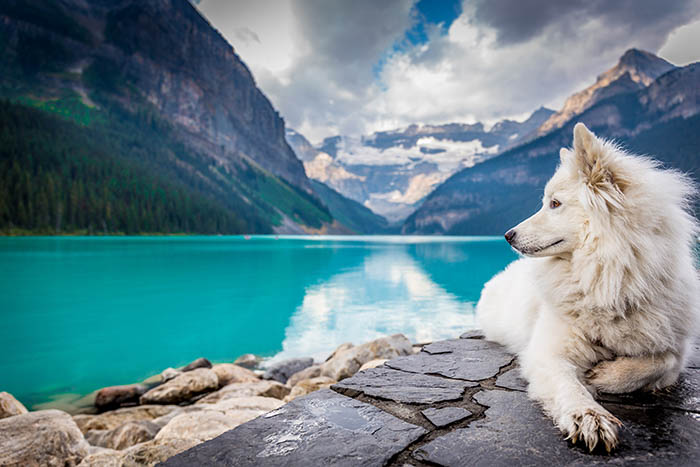 picture of Samoyed dog with beautiful landscape behind it