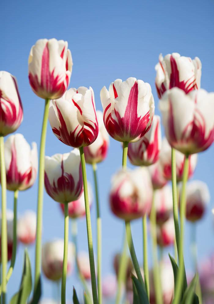 smartphone flower photography, tulips