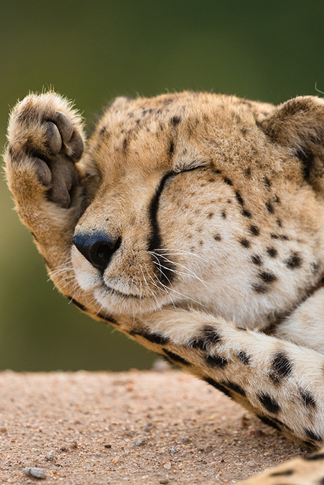 A close up of a cheetah rubbing her face