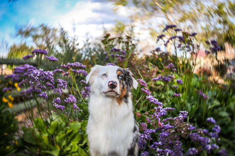 Um cachorro branco sentado entre flores roxas borradas