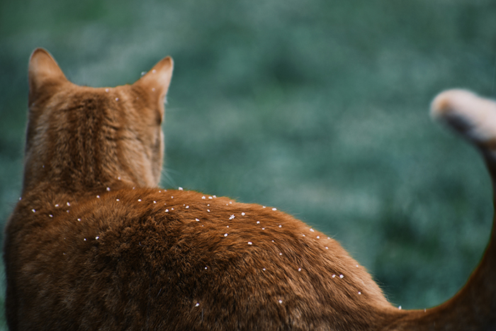 the back of a ginger cat with green background