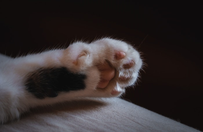 Close up photo of a cats paw
