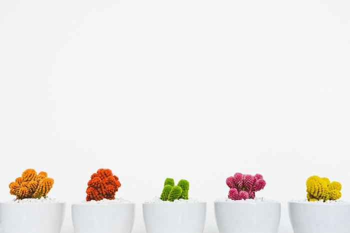 Brightly colored cactus plants in white pots